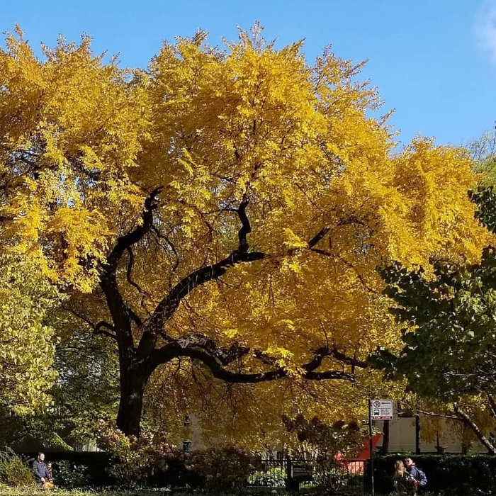 Yellow leaves yellow trees downtown Chicago