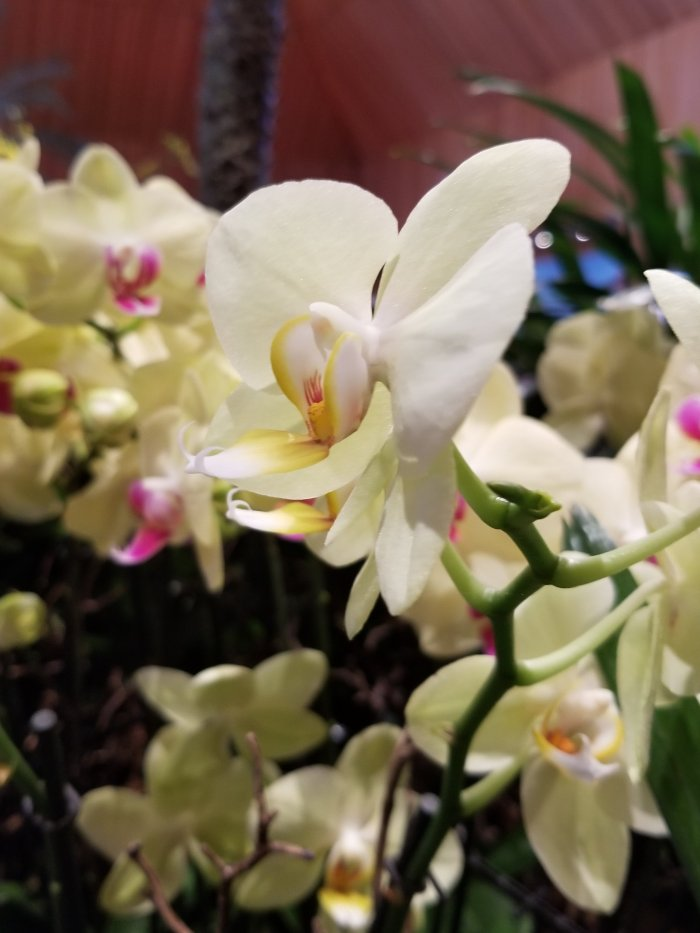 Orchid show at The Chicago Botanic Gardens