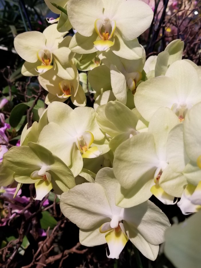 White orchids at The Chicago Botanic Gardens